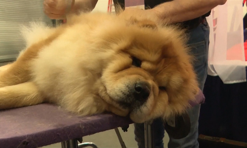For the year of Dog: Top dogs gather to get paws on prize at Westminster dog show in New York
