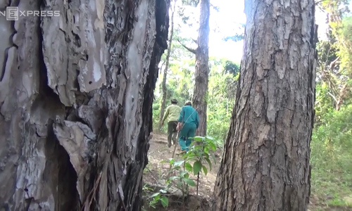 To Vietnam's forest rangers, Tet means high season for illegal logging
