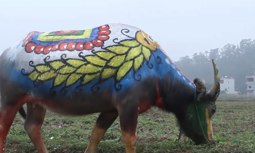 Painted buffalo plows a year of good fortune in northern Vietnam