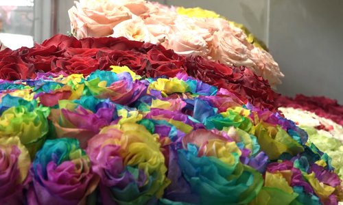 Rainbow roses add blushes to International Women's Day