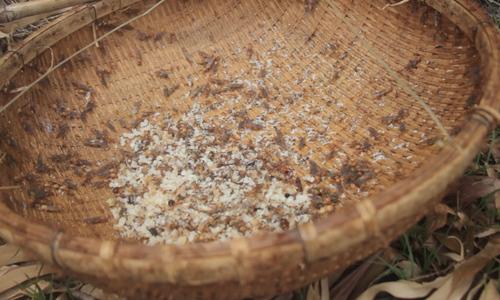 Harvesting weaver ants' eggs in southern Vietnam