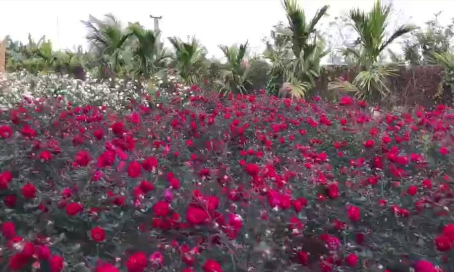 Vườn hồng cổ tích chồng để lại cho vợ
