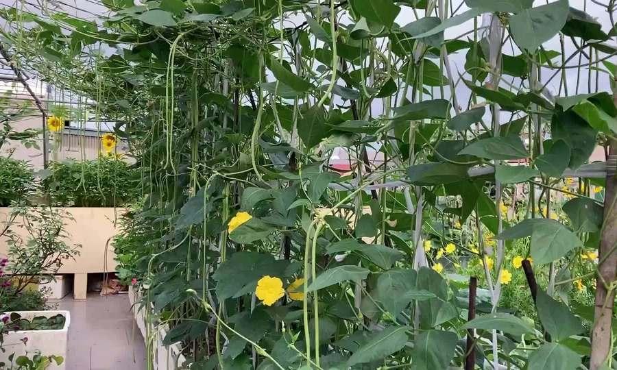 Mẹ Hà Nội làm vườn như 'rừng trên sân thượng'