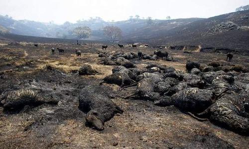 Động vật chết la liệt do cháy rừng Australia