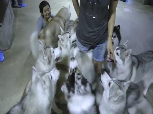 Cà phê chó Husky ở Bangkok