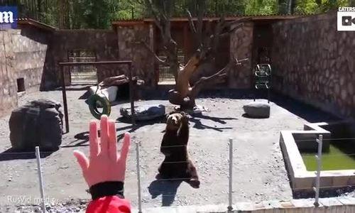 Chú gấu vẫy tay với du khách trong sở thú
