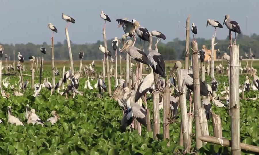 Đàn chim hoang dã đậu kín sông