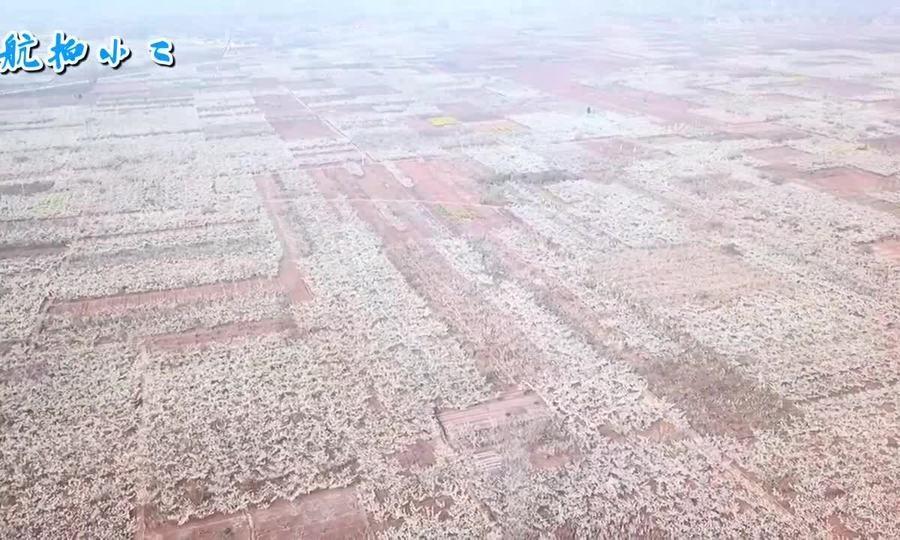 Vườn hoa lê 'ngàn dặm' ở Trung Quốc