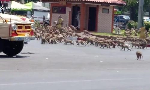 Đàn khỉ tràn ra đường