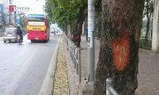 Xà cừ tiếp tục bị gọt vỏ trên các tuyến đường Hà Nội