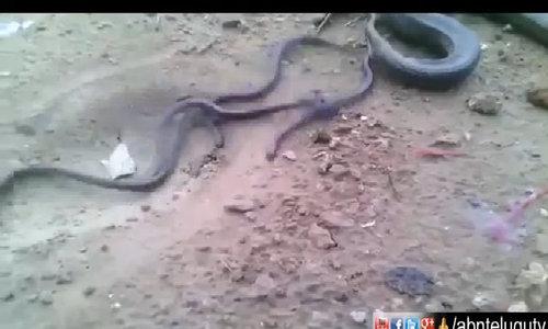 Ấn Độ xôn xao về video rắn mẹ đẻ hàng chục rắn con