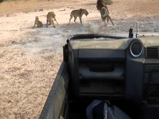Sư tử cái quyết liệt chống trả đòn tấn công của con đực