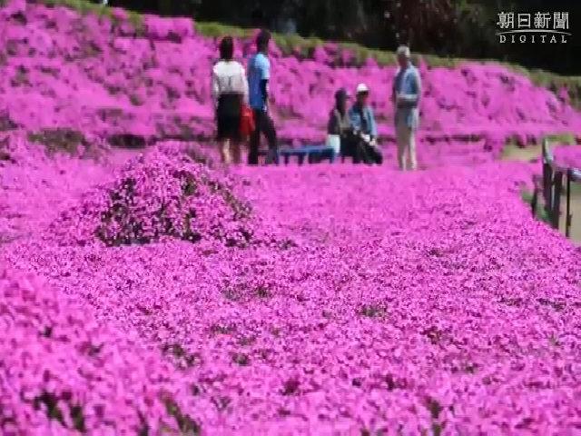 Cụ ông Nhật trồng cả vườn hoa khổng lồ để vợ ngửi hương thơm