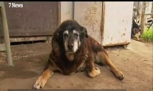 Con chó được cho là già nhất thế giới chết ở tuổi 30