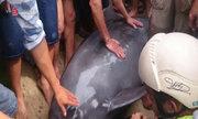 Hồi sức cho cá heo gần 300 kg ở biển Đà Nẵng