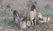 Sư tử hỗn chiến giành ăn, trâu rừng nhanh chân trốn thoát