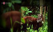 Hành trình tìm dấu vết Sao La - loài thú cổ đại hiếm có ở VN