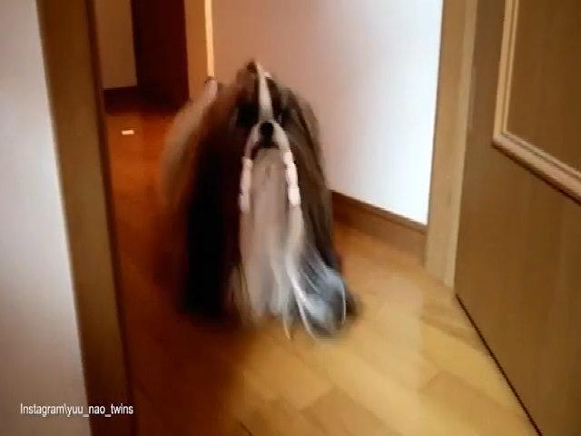 Chó sinh đôi nổi tiếng vì bộ lông trên mạng xã hội Nhật