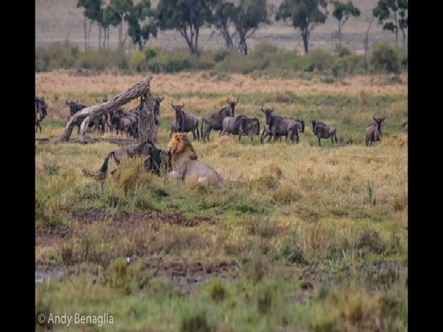 Sư tử đực bỏ rơi bạn tình để săn linh dương đầu bò