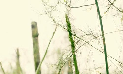 Quy trình trồng măng tây xanh theo tiêu chuẩn VietGAP