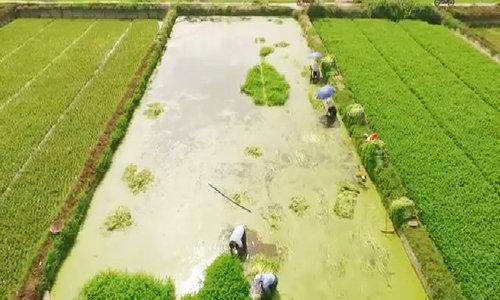 Đẩy mạnh mô hình trồng rau cần nước Hoàng Lương