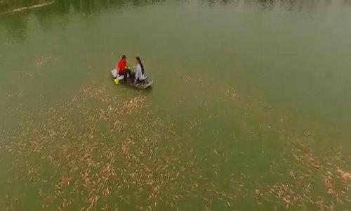 Cá diêu hồng Mỹ Hào, Hưng Yên