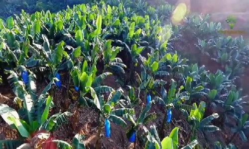 Những đồi chuối sạch bát ngát tại Lào Cai