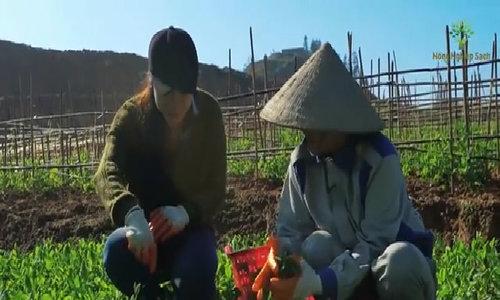 Mô hình trồng rau đậu Hà Lan tại Bắc Hà, Lào Cai