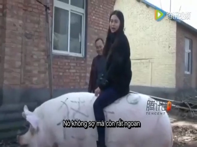 'Vua lợn' gần 8 tạ cho người cưỡi như ngựa