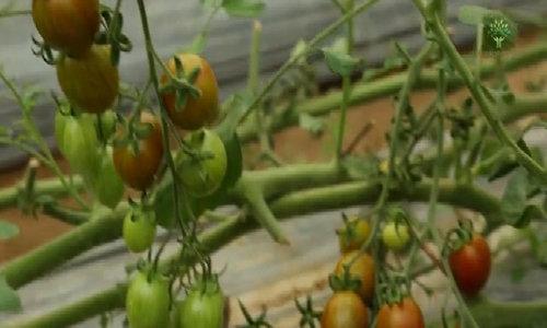 Màu sắc độc đáo của cà chua sô cô la