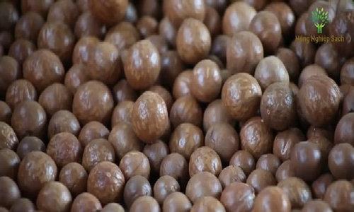 Cây mắc ca Lâm Đồng cho 120 tấn hạt mỗi năm