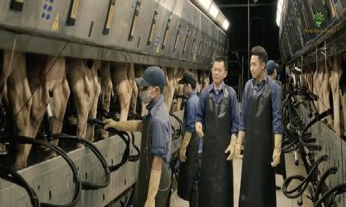 Gần 21.000 con bò được vắt sữa mỗi ngày ở Mộc Châu