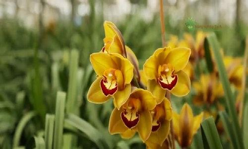 Bí quyết giúp địa lan nở đúng dịp tại xứ hoa Lâm Đồng