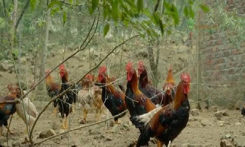 Sóc Sơn cung cấp 36.000 con gà thả đồi sạch mỗi năm cho thị trường