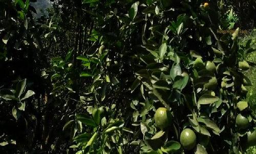 Nhiều làng, xã tại Hàm Yên xuất hiện triệu phú nhờ trồng cam
