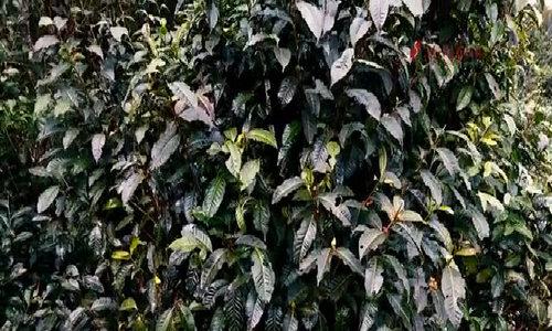 Chè Shan Tuyết - 'cây bất tử' của người Mông
