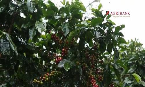 Cà phê Cầu Đất thu hái và phân loại bằng tay
