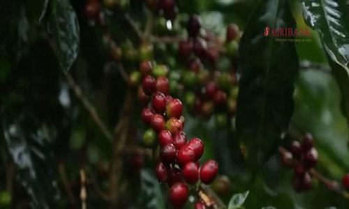 Ông giáo bỏ nghề, lập công ty sản xuất 14 loại cà phê chất lượng