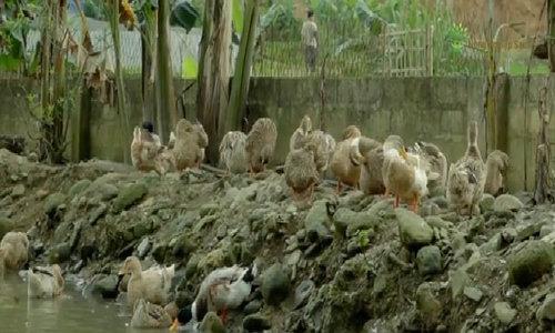 Đặc điểm riêng của giống vịt bầu bản địa Lâm Thượng, Yên Bái