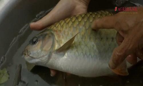 Cá bỗng Lào Cai có thể sống đến 50 năm