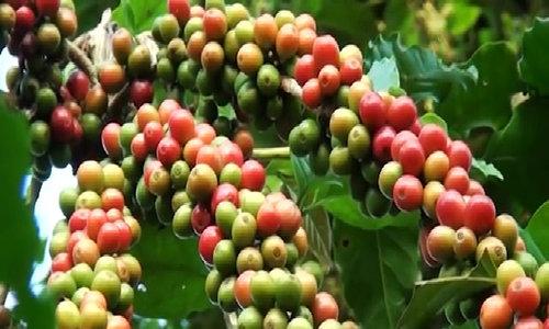 Cà phê được ủ trong chum 30 ngày để ổn định mùi hương