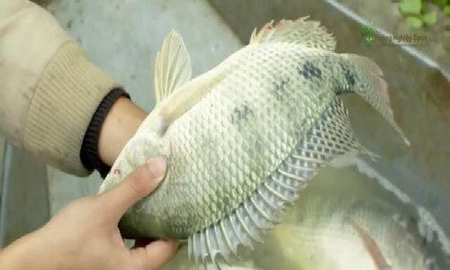 Nông dân Xuân Nẻo tìm đầu ra cho 400 tấn cá sạch mỗi năm