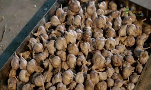 Quy trình ủ 20 tấn tỏi tươi sạch thành tỏi đen mỗi năm