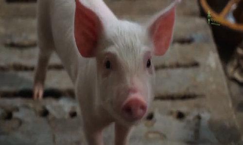 Chăn nuôi lợn sạch theo phương pháp hiện đại