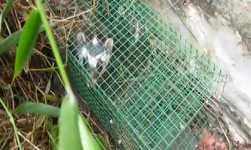 Bẫy rắn nhưng lại bắt được chồn bạc má ở Sài Gòn
