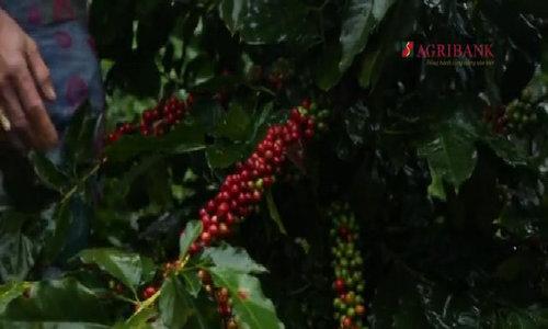 Cà phê Cầu Đất 'tắm nắng, uống sương' vùng cao nguyên