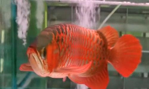 Cá rồng châu Á tượng trưng cho sự may mắn, xua đuổi tà ma