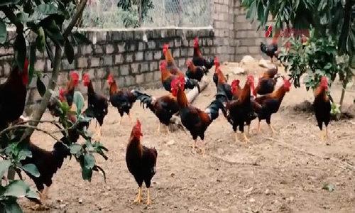 Mục tiêu nuôi 2 vạn con gà đồi của nông dân Hòa Bình