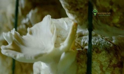 Nấm bào ngư sạch từ thành phố ven biển