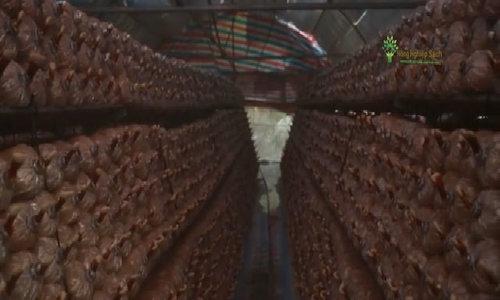 Nấm bào ngư cho thu hoạch tới 12 lần trong 4 tháng